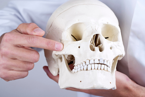 Doctor showing sinuses and zygomatic bone
